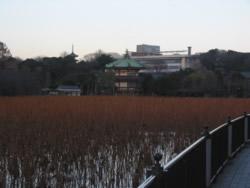 The famous lotuses in Shinobazu Pond