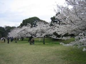 hamarikyu-garden-cherry-blossoms